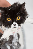 Bathing a cat Stock Photo
