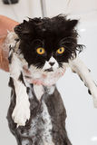 Bathing a cat. Bath or shower to a Persian breed cat Royalty Free Stock Photos