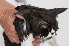 Bathing a cat Royalty Free Stock Photo