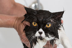 Bathing a cat Stock Photography