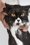 Bathing a cat Royalty Free Stock Photos