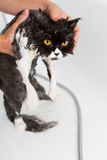 Bathing a cat Stock Image