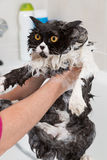 Bathing a cat. Bath or shower to a Persian breed cat Royalty Free Stock Photography