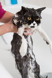Bathing a cat Royalty Free Stock Images