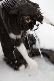 Bathing a cat. Bath or shower to a Persian breed cat Stock Image