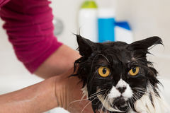 Bathing a cat Royalty Free Stock Image
