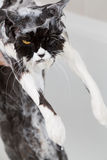 Bathing a cat Stock Images