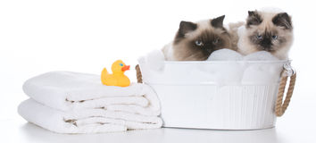Bathing the cat Royalty Free Stock Photography