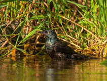 Bathing Common Grackle Royalty Free Stock Image