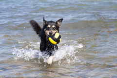 Bathing Dog. In the Baltic Sea royalty free stock photos