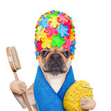Bathing dog. French bulldog dog ready to have a bath or a shower wearing a bathing cap and towel, brush and a sponge, isolated on white background stock photography