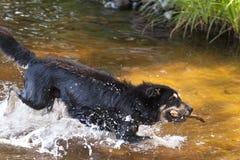 Bathing Dog Stock Photography