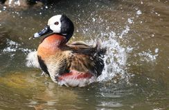 Free Bathing Duck Stock Photography - 12853292