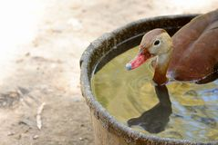 Bathing duck. Duck taking a bath on a hot summer day in the desert Stock Photos