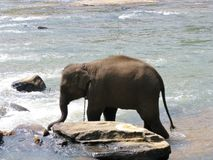 Bathing elephant Stock Photography