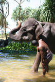 Bathing an elephant Royalty Free Stock Photo