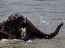 Bathing elephant. A bathing elephant and his caretaker in Chitwan Park, Nepal Royalty Free Stock Photography
