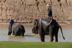 Bathing elephant stock images