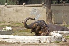 Bathing elephant cub Stock Images