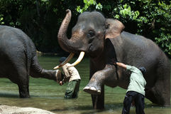 Bathing Elephant. Endanger Elephant take a bath in a river in Aceh, Sumatera, Indonesia Stock Photo