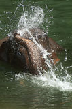 Bathing Elephant Royalty Free Stock Image