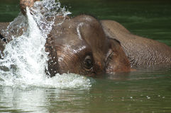 Bathing Elephant. Endanger Elephant take a bath in a river in Aceh, Sumatera, Indonesia Stock Photos