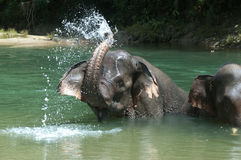 Bathing Elephant. Endanger Elephant take a bath in a river in Aceh, Sumatera, Indonesia Royalty Free Stock Photo