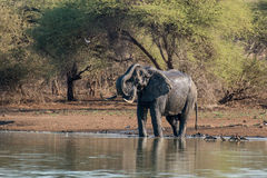 Bathing Elephant Stock Photos