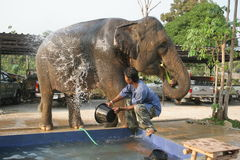 Bathing the elephant Royalty Free Stock Photography