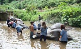 Bathing elephants royalty free stock image