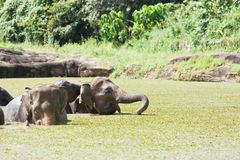 Bathing elephants Royalty Free Stock Photography