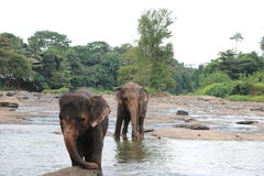 Bathing elephants Royalty Free Stock Image