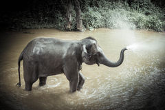 Bathing elephants at Mae Sa Elephant Camp, Mae Rim, Chiang Mai. One of the most popular tourist destinations in Thailand. The popular tourist info To stock photography