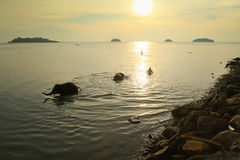 Bathing elephants in the Sea in Thailand Stock Photography