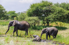 Bathing elephants in Tarangire Park, Tanzania Royalty Free Stock Photography
