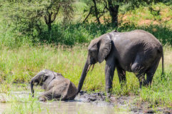 Bathing elephants in Tarangire Park, Tanzania Royalty Free Stock Images
