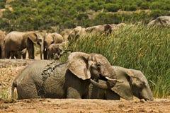 Bathing elephants in a waterhole Royalty Free Stock Images