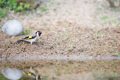 Bathing European goldfinch Royalty Free Stock Images