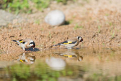 Bathing European goldfinch Stock Image