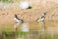 Bathing European goldfinch Stock Photo