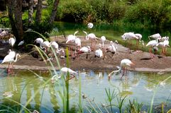 Bathing flamingoes Stock Image