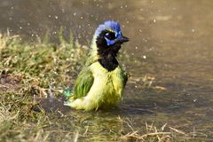 Bathing green jay Royalty Free Stock Images