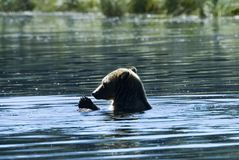 Bathing grizzly Stock Images