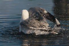 Bathing gull Royalty Free Stock Photography