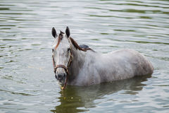 Bathing horse. The chestnut horse bathing in a lake Royalty Free Stock Photography