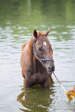 Bathing horse. The chestnut horse bathing in a lake Royalty Free Stock Photos