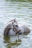 Bathing horse. The chestnut horse bathing in a lake Stock Photography