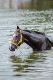Bathing horse. The chestnut horse bathing in a lake Stock Photos