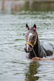 Bathing horse. The chestnut horse bathing in a lake Stock Images