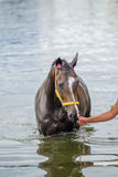 Bathing horse. The chestnut horse bathing in a lake Royalty Free Stock Image
